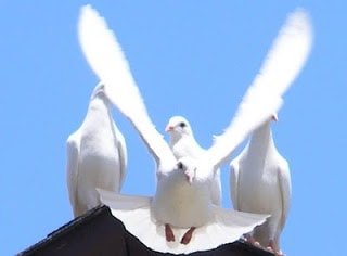 Picture of 3 Doves.  Dove Celebrations Honors Veterans