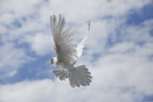 Dove in flight, for White Dove Releases page